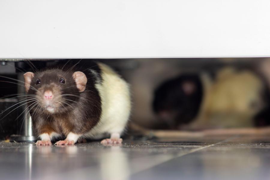 ratas en Pamplona